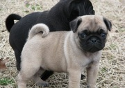 Cute Pug Puppies For Sale
