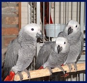 Socialized African Grey Parrots